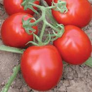 Муна F1 - томат детерминантный, 1 000 семян, Clause/Клаус (Франция), фото 1