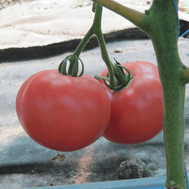 Фенда F1 - томат индетерминантный, 250 и 1 000 семян, Clause/Клаус (Франция), фото 1