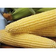 Шайнрок F1 - кукуруза сахарная, 1кг и 100 000 семян, Syngenta/Сингента (Голландия), фото 1