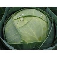 Атрия F1 - капуста белокочанная, 2 500 семян, Seminis/Семинис (Голландия), фото 1