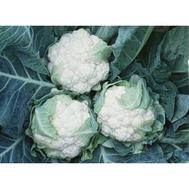 Леканю F1 - капуста цветная, 2 500 семян, Syngenta (Сингента), Голландия, фото 1