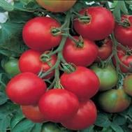 Толстой F1 - томат индетерминантный, 5гр., Bejo/Бейо (Голландия), фото 1
