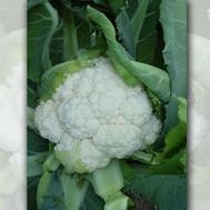 Кашмир F1 -  семена капусты цветной, 1 000 семян, Sakata seeds/Саката сидз (Япония), фото 1