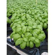 Эмили - семена базилика, 100 и 250 гр, Enza Zaden/Энза Заден (Голландия), фото 1