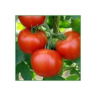 """""""КОМИТ F1"""" - семена томатов, 500 и 1 000 с, De Ruiter (Де ройтер) Голландия, фото 1"""