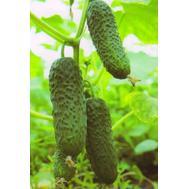 Кибрия F1 - семена корнишонов, Rijk Zwaan/Райк Цваан (Голландия), фото 1