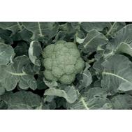 Батавия F1 - капуста брокколи, 2 500 семян, Bejo/Бейо (Голландия), фото 1