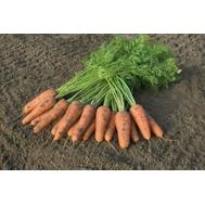 Канберра F1 - семена моркови, 1 000 000 семян (прецизионные, фр. от 1,6 до 2,6 мм), Bejo/Бейо (Голландия), фото 1
