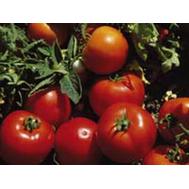 Лоджейн F1 -  семена томатов, 50 и 1 000 семян, Enza Zaden/Энза Заден (Голландия), фото 1