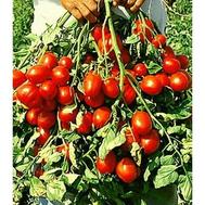 """""""МАЙОРИТА F1"""" - семена томатов, 500 и 1 000 с, De Ruiter (Де ройтер) Голландия, фото 1"""