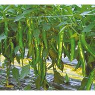 """""""Кохиба F1"""" - семена перца острого, 500 с, Sakata seeds/Саката сидз (Япония), фото 1"""
