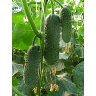 Бьёрн F1 -  семена огурцов корнишонов, 50 и 500 семян,  Enza Zaden/Энза Заден (Голландия), фото 1