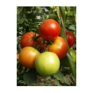 Кунеро F1 - томат индетерминантный, 1 000 семян, De Ruiter (Де ройтер) Голландия, фото 1