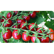 Пиколино F1 - томат индентерминантный, 1 000 семян, De Ruiter (Де ройтер) Голландия, фото 1
