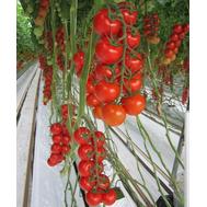 Киерано F1 - томат индентерминантный, 1 000 семян, De Ruiter (Де ройтер) Голландия, фото 1