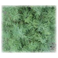 """Амазон"", семена укропа, 1 килограмм, Гавриш (Gavrish) Россия, фото 1"