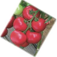 Пинк Импрэшн F1 - семена томатов, 500 семян, Sakata seeds/Саката сидз (Япония), фото 1