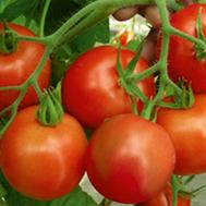 Ричи F1 - томат детерминантный, 5 гр., Bejo/Бейо (Голландия), фото 1