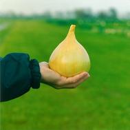 Эксибишен - семена лука репчатого, 10 000 и 250 000 семян, Bejo/Бейо (Голландия), фото 1