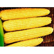 Мегатон F1 - семена кукурузы сахарной, 5 000 и 50 000 семян, Clause/Клаус (Франция), фото 1