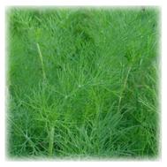 """Аллигатор"", семена укропа шлифованные, 250 гр, Prof Seeds, фото 1"