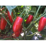 Форахидо F1 - семена перца острого, 500 семян, Enza Zaden/Энза Заден (Голландия), фото 1