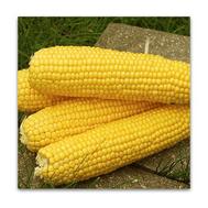 Трофи F1 - семена кукурузы сахарной, 5 000 и 100 000 семян, Seminis/Семинис (Голландия), фото 1
