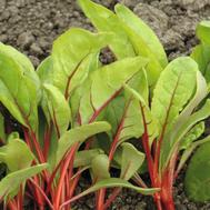 Мангольд Бали - семена свеклы листовой, 50 000 семян (прецизионные), Bejo/Бейо (Голландия), фото 1