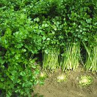 Афина - сельдерей листовой, 50 гр, Bejo/Бейо (Голландия), фото 1
