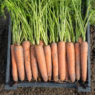 Бермуда F1 - семена моркови, 1 000 000 семян (прецизионные, фр. от 1,6 до 2,6 мм), Bejo/Бейо (Голландия), фото 1