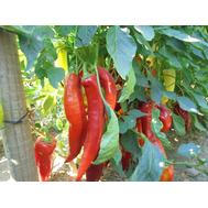 Канарио Реал F1 - семена перца горького, 250 семян, Clause/Клаус (Франция), фото 1