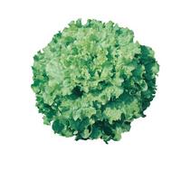 Дедаль F1 - салат Батавия, 5 000 (драже) и 25 000 семян, Vilmorin/Вилморин (Франция), фото 1