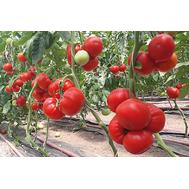Девонет F1 - томат полудетерминантный, 500 семян, Syngenta/Сингента (Голландия), фото 1