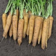Еллоустоун - семена моркови, 1 000 000 семян (прецизионные, фр. от 1,6 до 2,0 мм), Bejo/Бейо (Голландия), фото 1