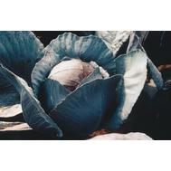 Фуэго F1 - семена капусты краснокочанной, 2 500 семян, Clause/Клаус (Франция), фото 1