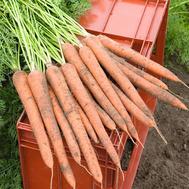 Ибица F1 - семена моркови, 1 000 000 семян (прецизионные, фр. от 1,6 до 2,0 мм), Bejo/Бейо (Голландия), фото 1