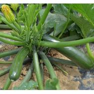 Комо F1 - семена кабачка, 1000 семян, Sakata seeds/Саката сидз (Япония), фото 1