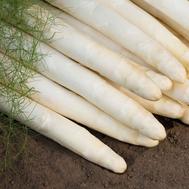 Кумулус F1 - спаржа белая, 500 и 5 000 семян (прецизионные), Bejo/Бейо (Голландия), фото 1