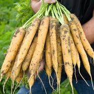 Мелло Йелло F1 - семена моркови (желтая), 1 000 000 семян (прецизионные, фр. от 1,6 до 2,2 мм), Bejo/Бейо (Голландия), фото 1