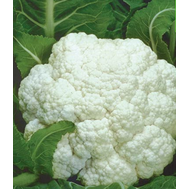 Форталеза F1 - семена капусты цветной, 1 000 и 2 500 семян, Seminis/Семинис (Голландия), фото 1