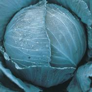 Претино F1 - семена капусты краснокочанной, 2 500 семян, Takii Seed/Таки Сидс (Япония), фото 1