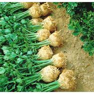 Принц - семена сельдерея, 10 000 семян, Nunhems/Нунемс (Голландия), фото 1