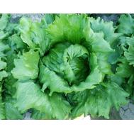 Протекционист F1 - салат Айсберг (дражированный), 5 000 семян, Vilmorin/Вилморин (Франция), фото 1