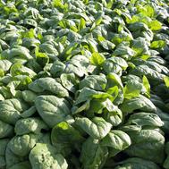 Рембор F1 - семена шпината, 50 000 семян (калиброванные), Bejo/Бейо (Голландия), фото 1