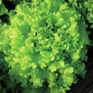 Тональ F1 - салат Батавия, 25 000 (драже) и 25 000 семян, Vilmorin/Вилморин (Франция), фото 1