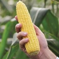Турбин F1 - кукуруза сахарная, 5 000 и 50 000 семян, Clause/Клаус (Франция), фото 1