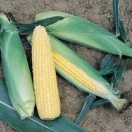 Турбо F1 - кукуруза сахарная, 100 000 семян, Vilmorin/Вилморин (Франция), фото 1