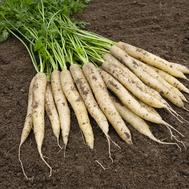 Вайт Сатин F1 - семена моркови (белая), 1 000 000 семян (прецизионные, фр. от 1,6 до 2,2 мм), Bejo/Бейо (Голландия), фото 1