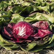 Васари F1 - цикорий салатний, 5 000 семян, Bejo/Бейо (Голландия), фото 1