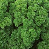 Вега - семена петрушки, 250 гр., Enza Zaden/Энза Заден (Голландия), фото 1